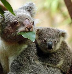 Koala Duisburg JN6A3464 | safi kok | Flickr