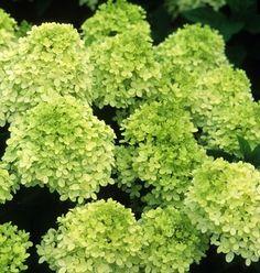 limelight hydrangea (again - different colour)