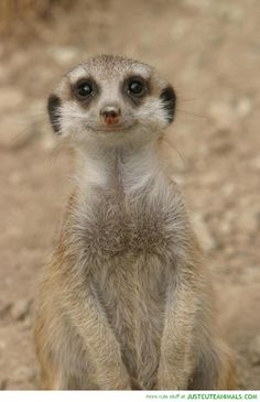 This meerkat's smile is simply ADORABLE At least..I think it's a meerkat. :P
