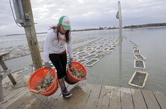 Oyster Farming Chesapeake Bay | Gifford, with the Choptank Oyster Company, carries buckets of oysters ...