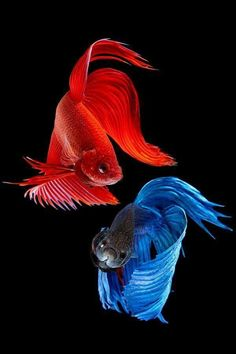 Blue and red Siamese fighting fish.