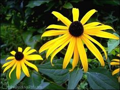 Rudbeckia or Black-eyed Susan is a Native American sacred plant known for it's healing powers. via @ my BF's | Nihrida