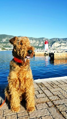 France 2 Cute Puppies, Cute Dogs, Dogs And Puppies, Doggies, Irish Terrier, Airedale Terrier, All Dogs, Best Dogs, Large Dog Breeds