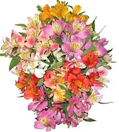 Alstroemeria flower or Peruvian Lily is symbolic of wealth, prosperity and fortune. It is also the flower of friendship