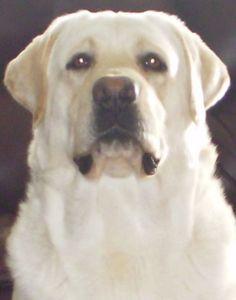 Our Boys - Heartlands Quality Labrador Retrievers
