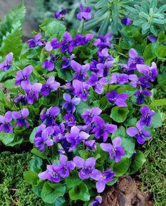 Viola odorata   Viola odorata Queen Charlotte   fleurs,plantes&jardins - flowers,plan ...