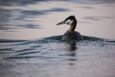 Red-necked Grebe - Podiceps grisegena, Glacier National Park, Montana - photo by Jacob W. Frank (pinned by haw-creek.com)