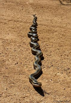 ong-tailed snake, is a species of moderately venomous colubrid snake native to South America.