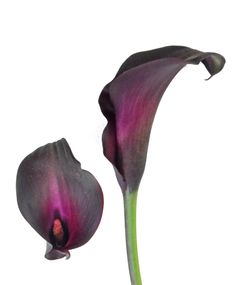 Night Life Black Calla Lily is a black colored calla lily with dark purple center. Calla Lily Colors, Black Calla Lily, Calla Lily Flowers, Broad Sword, Lily Shop, House Plants, Night Life, Bulb, Indoor