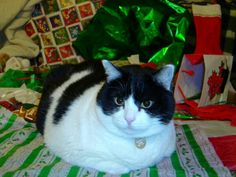 Cat with Christmas Wrapping Paper Picture Free Photographs, Fat Cats, Christmas Cats, Christmas Wrapping, Give It To Me, Wraps, Presents, My Love, Paper