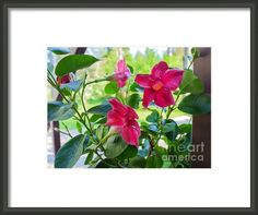 "Mandevilla - Like A Star by Ismo Raisanen. The watermark (""Fine Art America"") doesn't appear in the print you buy. Framed Prints, Art Prints, Beautiful Artwork, Great Artists, Fine Art Photography, Fine Art America, My Arts, Stars, Flowers"