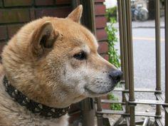 Shiba  John  柴犬