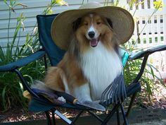Spring Shelties - Sheltie Nation  love the hat : )