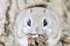 This cute little furball is a Japanese Flying Squirrel Animals And Pets, Baby Animals, Funny Animals, Cute Animals, Funny Pets, Japanese Dwarf Flying Squirrel, Chipmunks, Mammals, Creatures