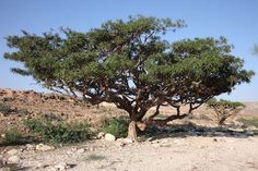 Young Living is the first and only company in the world to obtain permission to distill and export Sacred Frankincense in Oman and bring it into the Western world.Boswellia sacratrees in Oman have been harvested for the past 5,000 years. Today, they are harvested in the same way and on the same schedule as their ancestors. The limestone cliffs of the Dhofar Mountains provide the perfect environment for growingBoswellia sacra.