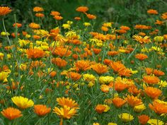Calendula. Blossoms are edible and make a tasty addition to salads. Used in natural medicine for it's healing properties. #flowers #healing #health #nutrition