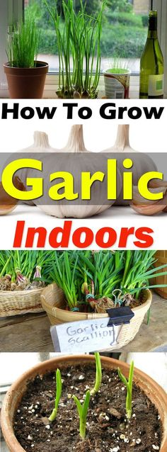 If you love fresh garlic in your dishes then growing it indoor is a great idea to get its fresh supply year round. Check out!