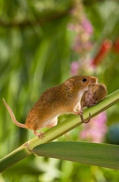 Amazing Examples Animal Photography : Harvest Mice / Amazing Only