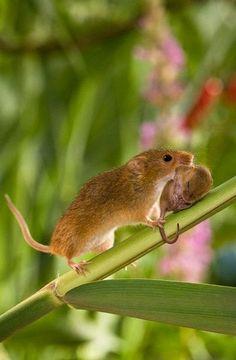 Amazing Examples Animal Photography : Harvest Mice / Amazing Only