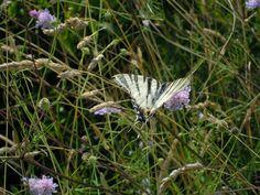 La farfalla che vola nei campi...