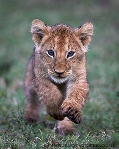 Photo Run lion cub run by Austin Thomas on 500px