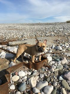 Disco the French bulldog Frenchie in Wales