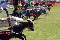 #goatvet likes these obviously well trained goats at the Goat race in Barcaldine,Queensland, Australia