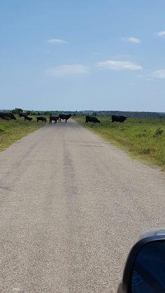On our way to Pawhuska Lake...cows all over..