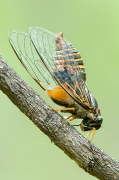 Cicada at Punda Maria camp in the Kruger National Park Macro Photography, Wildlife Photography, Kruger National Park, National Parks, Worm Images, Scorpion Image, Great Photos, Cool Pictures, Huntsman Spider
