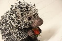 Porcupine eating a strawberry