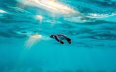Download wallpapers little turtle, ocean, baby turtle, Underwater World, the Great Barrier Reef, turtle, Australia