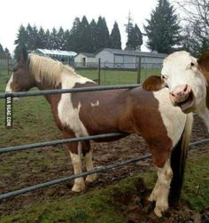 No matter how bad your day is, at least you're not stuck in a fence being laughed at by a cow.