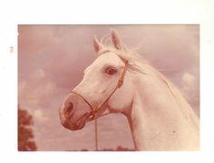 Schoene-alte-Pferdepostkarte-Araber-Schimmelhengst-Bandos-Sehr-guter-Zustand