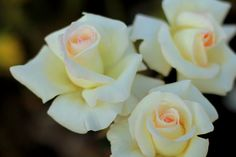 Ivory Roses in the Moonlight  Rose Garden by MermaidSightings