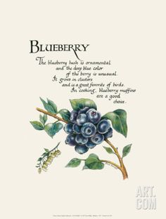 Phillips Posters, Prints, Paintings & Wall Art for Sale Blueberry Farm, Blueberry Bushes, Blueberry Recipes, Blueberries For Sal, Strawberries, Language Of Flowers, Blue Berry Muffins, Botanical Illustration, Aesthetic Art