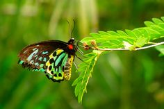 Queen Alexandrea Bird Wings are the Largest butterfly species; Butterfly Facts, Butterfly Live, Butterfly Species, Largest Butterfly, Butterfly Photos, Green Butterfly, Butterflies, Bird Wings, Different