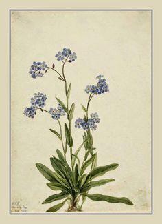 Não-te-esqueça-de-mim, também conhecida como Miosótis, uma planta herbácea, com delicadas flores azuis.  http://sergiozeiger.tumblr.com/…/nao-te-esqueca-de-mim-tamb…  O folclore atribui poderes mágicos a miosótis, como o de abrir as portas invisíveis dos tesouros do mundo....