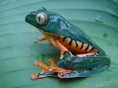 frogs pictures - Google Search