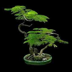he word bonsai is most closely associated by most with the growing of miniature trees, and although this is somewhat accurate, there is a lot more to it than that. A bonsai is not a genetically overshadowed plant Bonsai, Japanese Garden, Plants, Tree Care, Miniature Garden, Indoor Bonsai Tree, Indoor Trees, Miniature Trees, Trees To Plant