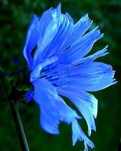 Chicory by Mark Malitz Watercolor Flowers, Watercolor Art, Bach Flowers, Plans, Amazing Flowers, Watercolors, Flower Art, Art Print, Fine Art