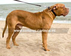 Collar de adiestramiento para perros Dogo de Burdeos hecho a mano piel y acero - C2 (25 mm)