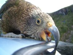 Bird: Kea   Deaths Corner, Arthur's Pass, New Zealand   Photo: Selena Coombes