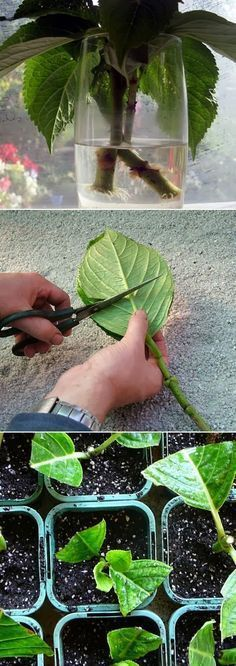 """Grow Hydrangea From Cutting I usually just stick """"cuttings"""" that the dog has broken off in a jar of water on my kitchen counter, then plant when they start to root. This looks more scientific."""