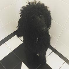 https://flic.kr/p/M1noUW | #jednak #jestem #pudlem #poodle #the #dog #black #furi #wteatralnymkibluspokojest #art #allblack #nofilter #picoftheday #instagood