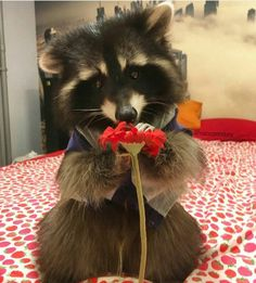 Just a raccoon with a flower Fluffy Animals, Animals And Pets, Baby Animals, Cute Animals, Rocky Raccoon, Pet Raccoon, Amor Animal, Cute Rats, Cool Pets