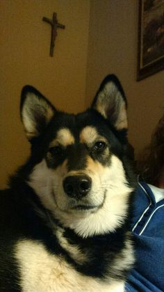 Ashka, our foster fail. We adopted her. Husky Rescue, The Fosters, Adoption, Dogs, Animals, Foster Care Adoption, Animales, Animaux, Pet Dogs