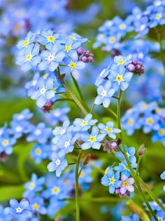 Forget-Me-Nots in a Spring Shade Garden.