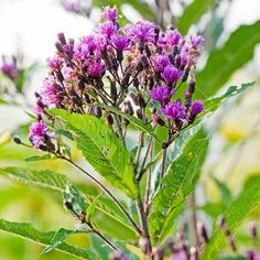Ironweed thrives in clay and can handle the summer heat! More plants that thrive in clay: http://www.bhg.com/gardening/flowers/perennials/best-plants-to-grow-in-clay/?socsrc=bhgpin071613ironweed=11