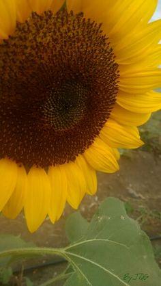 #Sunflower #Guanica #PuertoRico #PR #photography #BYJQG Sunflowers, Puerto Rico, Plants, Photography, Flowers, Fotografia, Fotografie, Puerto Ricans, Photo Shoot