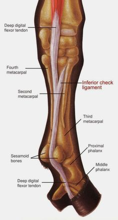The Inferior Check Ligament, also known as the accessory ligament of the deep digital flexor tendon, is an interesting and important soft-tissue structure in the equine athlete. Injury occurs most Horse Information, Horse Anatomy, Animal Anatomy, Horse Care Tips, Horse Facts, Animal Science, Veterinary Medicine, Horse Training, Training Tips